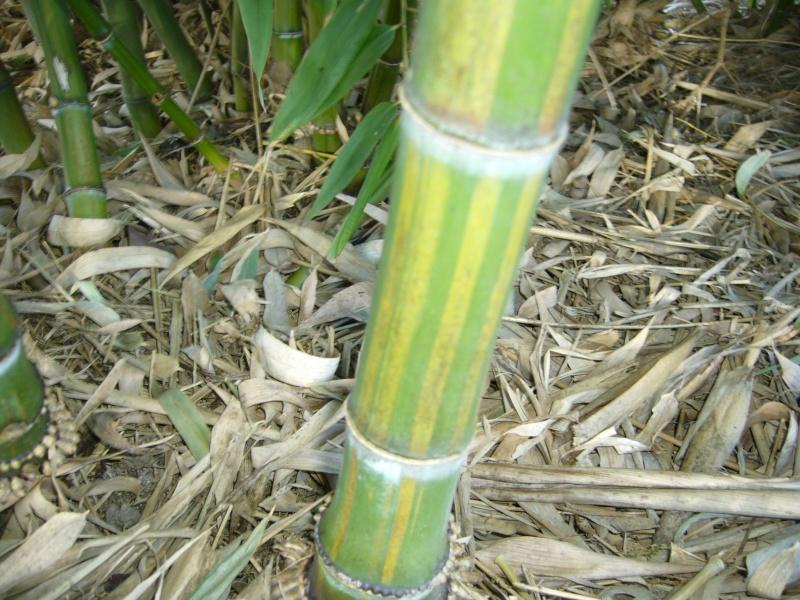 Vos bambous et vous vos questions vos photos ici - Quand mettre du fumier de cheval dans le jardin ...