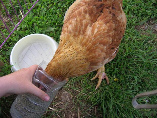 poule soie qui boite