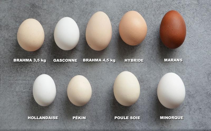 poule soie blanche oeuf