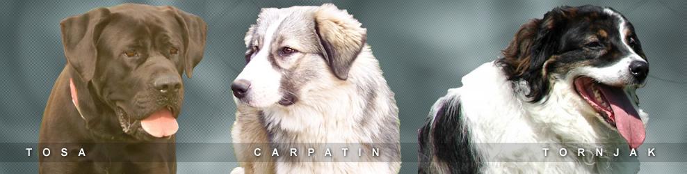tosa,carpatin,corb,wolfdog,tornjak