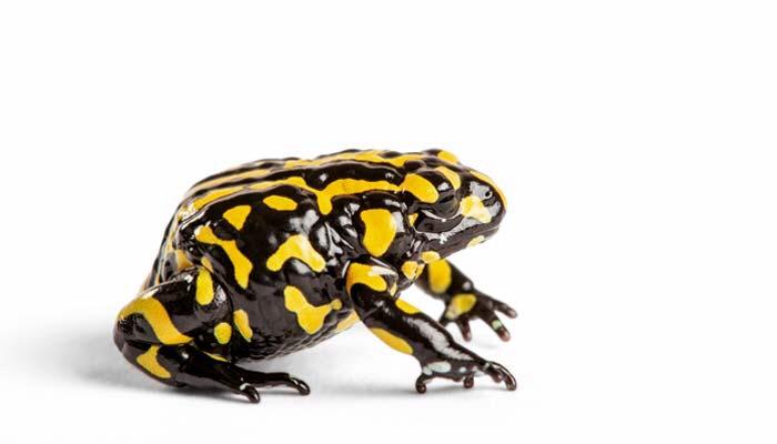 la vie sexuelle des animaux la grenouille corroboree un bon p re de famille. Black Bedroom Furniture Sets. Home Design Ideas