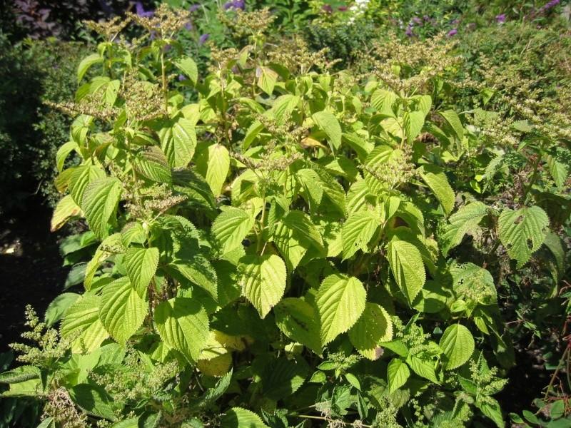 Plantes dangeureuses ortie du canada for Plante ortie