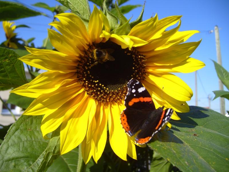 comptez les papillons de votre jardin au jardin forum de jardinage. Black Bedroom Furniture Sets. Home Design Ideas