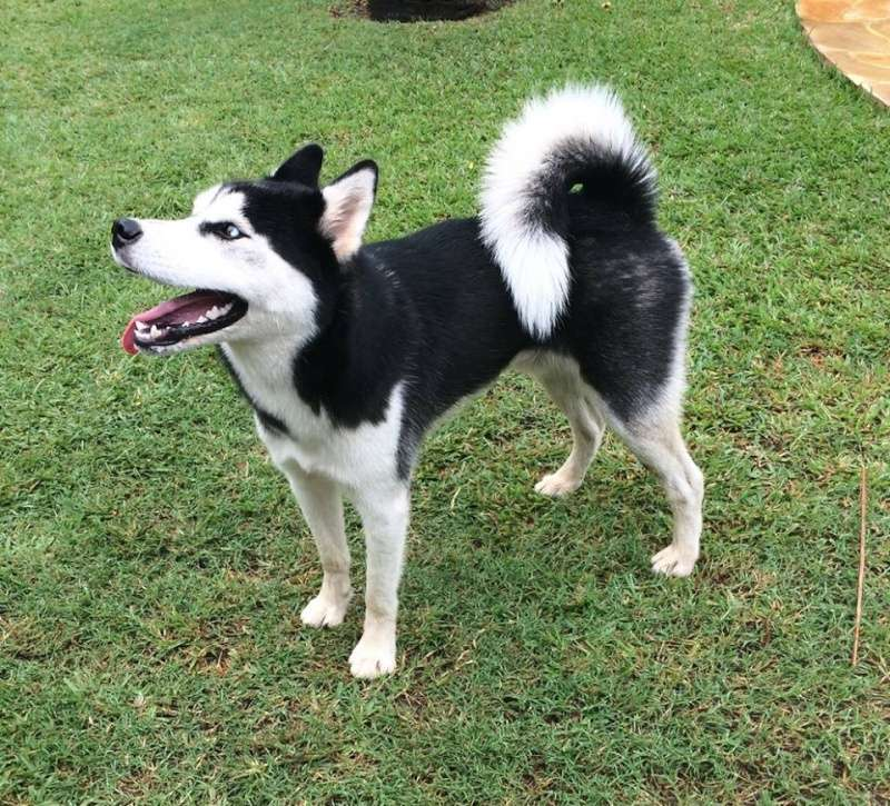 magnifique husky a adopter très rapidement1 an ou 2 REFU