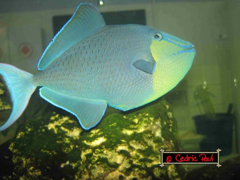 Odonus niger baliste bleu l 39 aquaramiaud for Nourriture poisson rouge super u