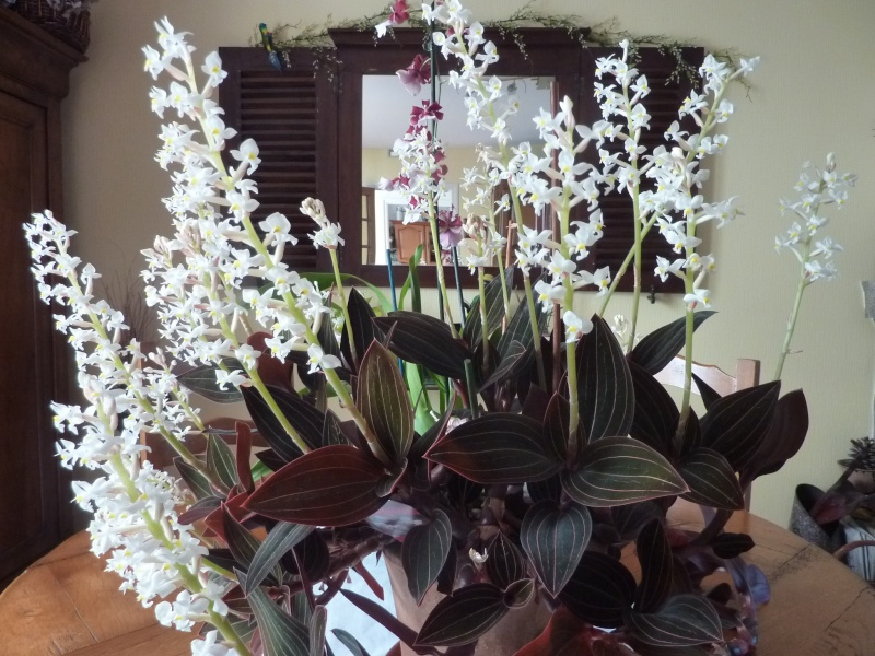 orchidee ludisia