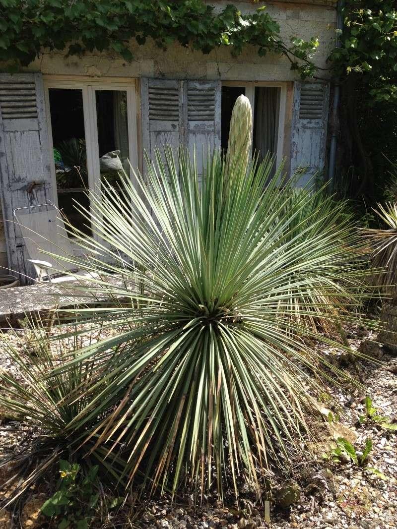 le forum des fous de palmiers • floraison yucca linearifolia