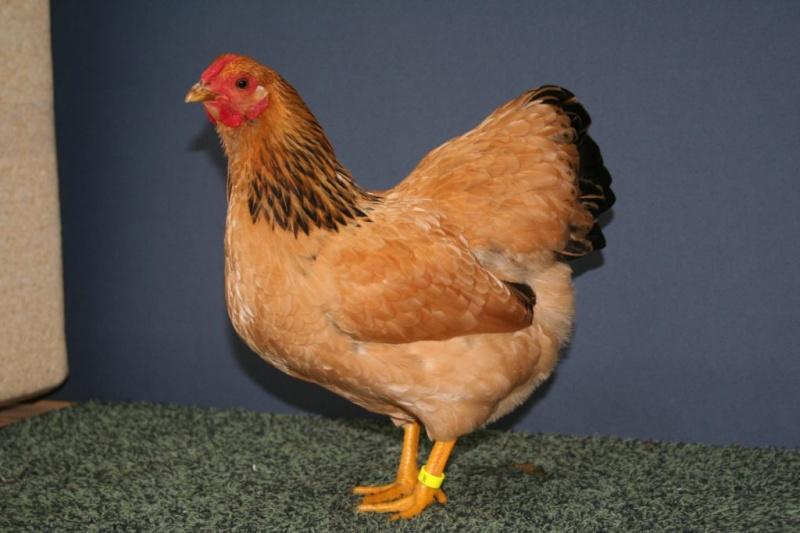 poule sussex rouge
