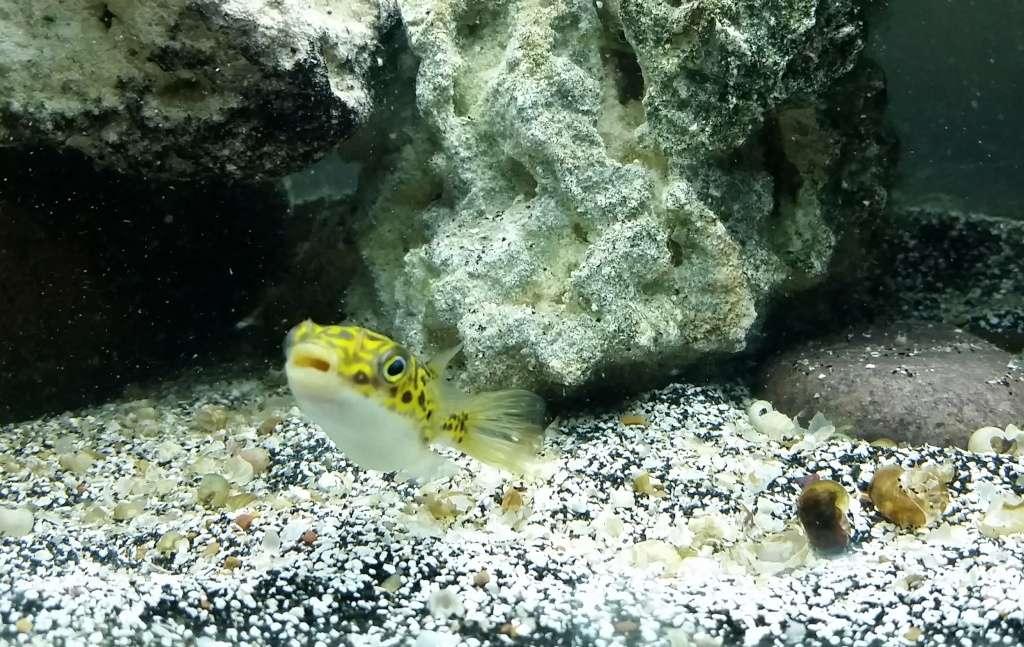 The figure 8 puffer tetraodon biocellatus for Figure 8 puffer fish