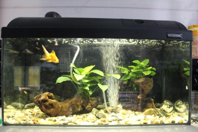 250l poissons japonais for Aquarium pour poisson rouge japonais