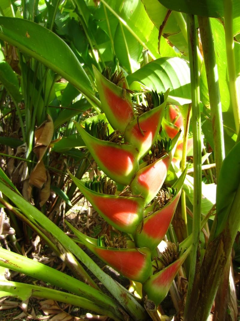 Heliconia for Vente de plantes par correspondance