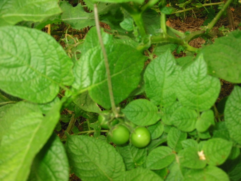 Mon jardin - Quand planter les patates ...