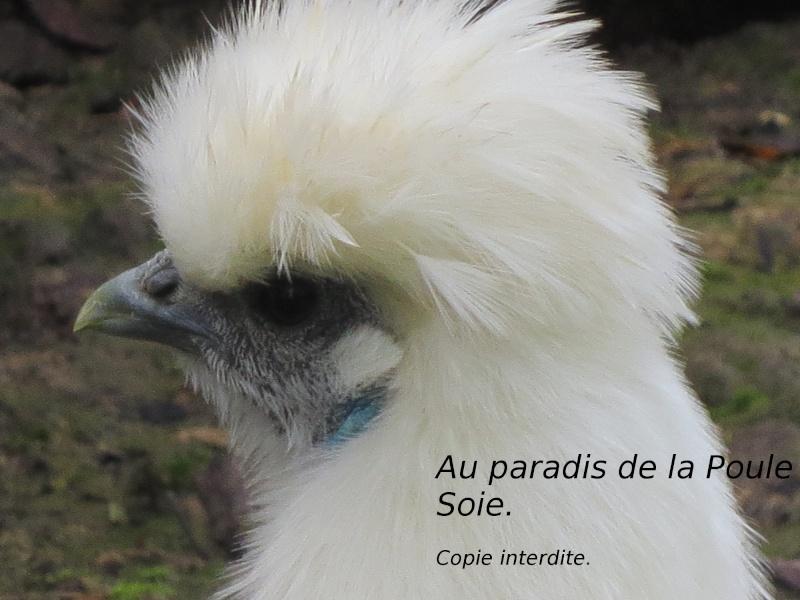La poule poule soie for Poule soie blanche prix
