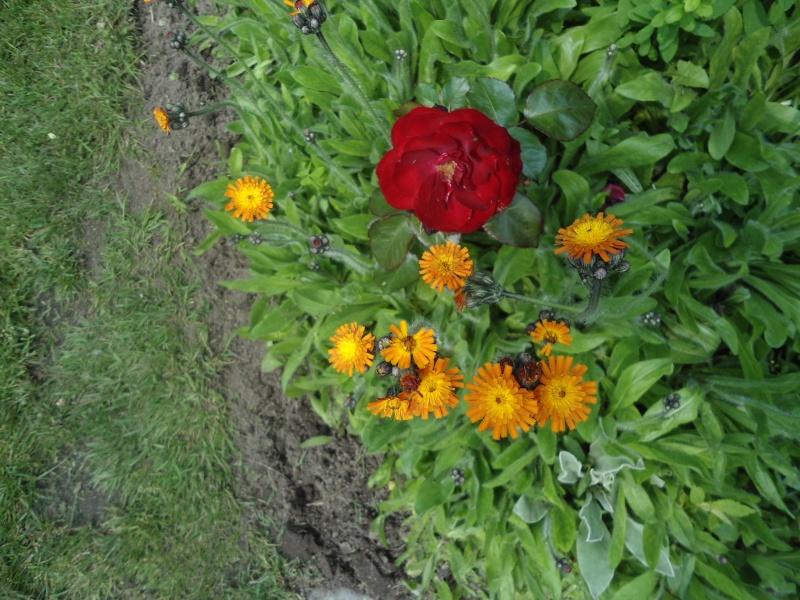 Bonjour mois aussi j 39 ai une collection de g raniums - Quand rentrer les geraniums ...