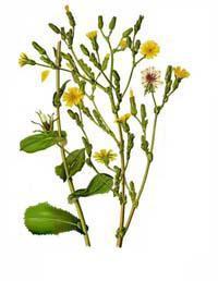 L 39 usage des plantes pour anesth sier ces poques for Vers dans les plantes