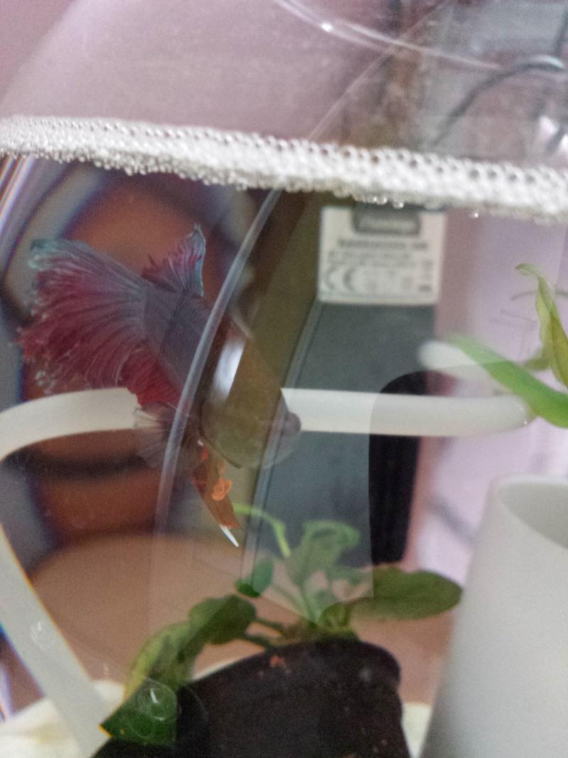 Mon premier betta et poisson for Nourriture poisson betta