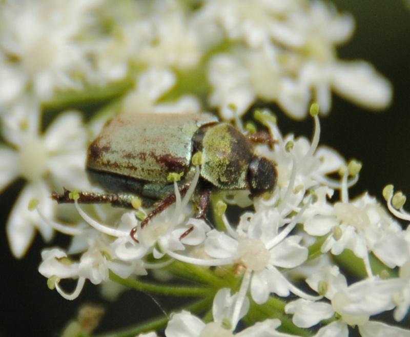 Hoplia sp petit insecte couleur vert argent - Insecte vert volant ...