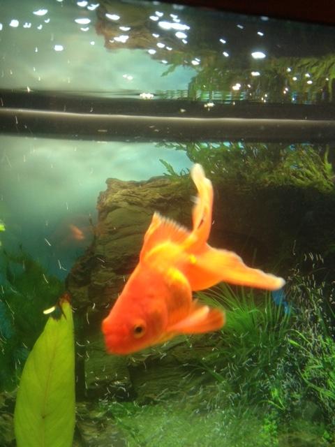 Mes deux poissons japonais deux orandas de 20 et 10 cm for Prix poisson rouge 20 cm
