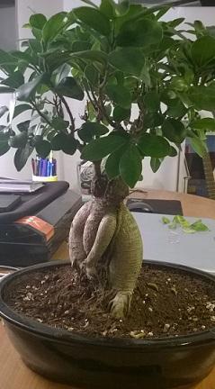 Ficus perde foglie pagina 2 for Ficus benjamin perde foglie
