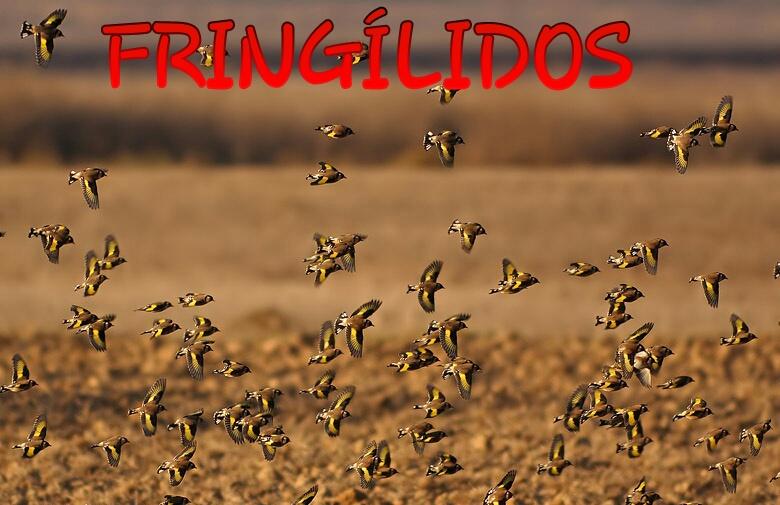 Fringílidos